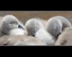 Sweet dreams...... (Levels Nature) Tags: uk england baby cute nature swan sleep young cygnet fluffy somerset sleepy swans cygnets muteswans specanimal