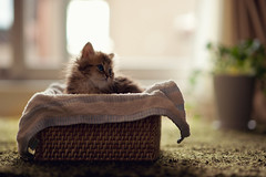 A Fresh Basket of Daisy III (torode) Tags: cat persian kitten basket blueeyes towel daisy rug weave potplant towell