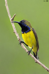 (Explored) Closeup shot of male Olive Backed Sunbird (kengoh8888) Tags: wild cute green bird yellow closeup pose pentax background clean perch stick creamy k5 sunbird smallbird thegalaxy