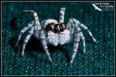 Araña Saltadora (Juan M Casillas) Tags: madrid macro insect spider iso200 wildlife araña jumpingspider leganés insecto f320 arañasaltadora speed1160 cameranikond300 focal1050mm35mm~1570mm lens1050mmf28 filenamedsc0463jpg
