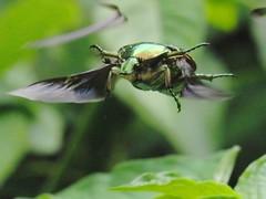 Flying (CharlesLam) Tags: macro insect geotagged hongkong flying siulekyuen kclama geo:lat=22465530 geo:lon=114187710