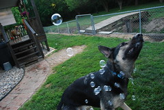 DSC_6411 (aerofan245) Tags: birthday party dog 3 shepherd sage german superhero batman batdog gsd