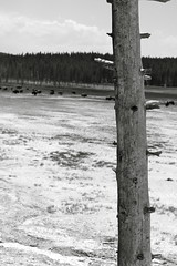 Lonely (andrewpug) Tags: tree buffalo yellowstone lonely wyoming jacksonhole