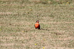 Lloica o Loyka en mapudungún (wenuray) Tags: aves loica lloica loyka