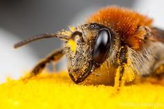 Andrena Haemorrhoa ([[BIOSPHERE]]) Tags: uk macro nature garden insect mining bee solitary mpe andrena haemorrhoa macrolife