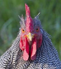 Valentino (cskk) Tags: red white black chicken rock dark farm nsw rooster livestock currawong barred freerange cockerel chook plymoth plymothrock darkbarred