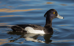 Male Tufted Duck (diliff) Tags: male london duck centre tufted wetland