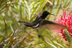 Beija-Flor - hummingbird - Trochilus (Fausto Fa) Tags: red brazil plant black flower verde green bird nature
