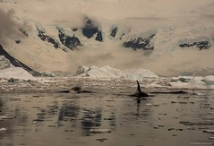 DSC_0383.jpg (Ashley.Cordingley1) Tags: sea storm elephant cold ice birds giant fur penguin extreme leopard seal british remote whales orca petrol wilderness humpback survey albatross antarctic peninsular weddell crabeater wilsons