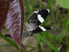 White-striped Black Moth_2014.04.26 (Urutu_From_SW_PA) Tags: moth poisonivy toxicodendron dayflyingmoth trichodeziaalbovittata toxicodendronradicans trichodezia blackandwhitemoth whitestripedblackmoth mothsofpennsylvania pennsylvanianmoths