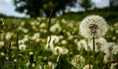 Pusteblume (MeierFotografie) Tags: pflanze wiese magdeburg sonne frhling pusteblume