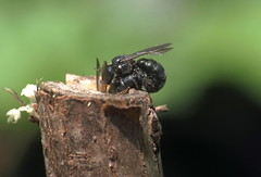 6/8 Foundation II - 23 V 2016 (el.gritche) Tags: hymenoptera france 40 garden apidae ceratina chalybea mating behavior nest male female couple