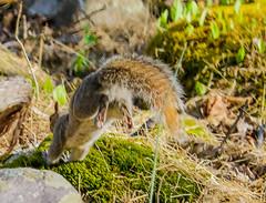 2016-04-24 17.14.51-2.jpg (michaelbbateman) Tags: wildlife squirel