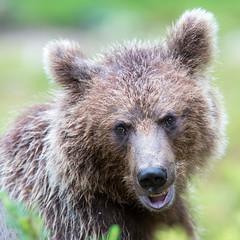 0_brown_bear_3951 (www.finnature.com) Tags: july brownbear karhu 2015 heinkuu suomussalmi martinselkonen