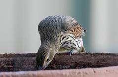 olive-backed oriole (Oriolus sagittatus)-9734 (rawshorty) Tags: birds australia canberra act symonston rawshorty