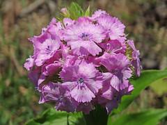 DSC00321 (gregnboutz) Tags: flowers flower springflowers brightflowers macroflowers bloomingflower colorfulflowers bloomingflowers colorfulflower