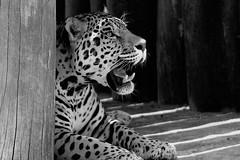 Jaguar B&N 7 (castorssito) Tags: bw zoo nikon feline felinos jaguar bigcats nikond3200 grandesfelinos