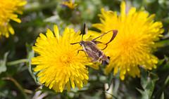 Moth on a Dandy (Kurayba) Tags: park ca canada flower yellow creek insect wings edmonton open pentax takumar bokeh wide moth dandelion full gross alberta frame translucent ravine 135 transparent mode ff f25 dandy k1 bayonet whitemud pollinating takumarbayonet135mmf25
