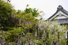 Wisteria (Lillakanarie) Tags: flowers japan kyoto wisteria sigmadp3quattro