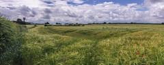 Lonely Poppy (joanjbberry) Tags: flower clouds wheat farmland poppy iphone farmersfield daresbury daresburyvillage