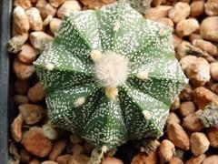 Astrophytum ASxSEh (Skolnik Collection) Tags: cactus x collection hybrid astrophytum asterias skolnik asxseh asenile