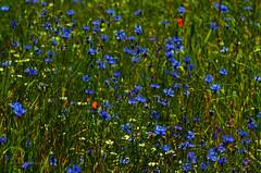 Summer flowers (ChemiQ81) Tags: flowers summer field outdoor poland polska polish pole polen polonia kwiaty pologne 2016  polsko lato  puola plland lenkija pollando   poola poljska polija pholainn polne     chemiq polanya lengyelorszgban