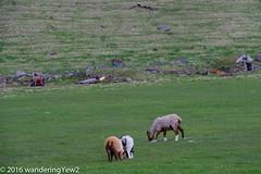 Iceland Day 10: orvaldseyri sheep (wanderingYew2) Tags: iceland sheep farm ewe eyjafjallajkull orvaldseyri fujixpro2