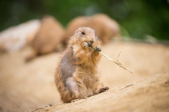 2016-05-21-18h44m32.BL7R6175 (A.J. Haverkamp) Tags: amsterdam zoo thenetherlands prairiedog artis dierentuin prairiehond cynomys httpwwwartisnl canonef100400mmf4556lisiiusmlens
