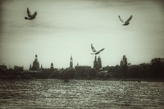 one day in may (***toile filante***) Tags: city monochrome birds sepia river dresden may mai stadt vgel flus