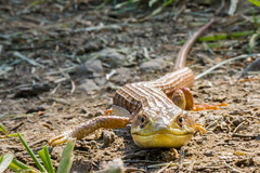 Shape-shifting Lizard (Tom Fenske Photography) Tags: party people animal election reptile clinton wildlife president lizard candidate choice vote trump 3rd herp potus contender 2016 alligatorlizard shapeshifting americas