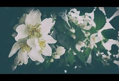 Jasmine (smoothna) Tags: flowers macro nature jasmine poland jessamine blooming jamin smoothna fujix30