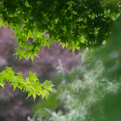 Spring rain (Spannarama) Tags: tree wet leaves rain square droplets bokeh japanesemaple raindrops outofmywindow