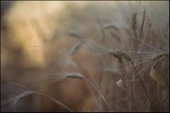 horas serenas del ocaso breve (joaaglera) Tags: light summer luz yellow gold golden nikon dof bokeh wheat amarillo desenfoque verano nikkor dorado trigo d610 105mmf2ddc