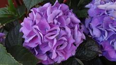 Hortensie (Gartenzauber) Tags: blau blume blüte doublefantasy floralfantasy excellentsflowers exquisiteflowers mimamorflowers greatshotss contactgroups mixofflowers magicmomentsinyourlife
