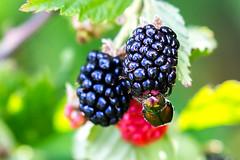 June Bug and Blackberry 2016 01 (Jim Dollar) Tags: sc blackberry southcarolina junebug indianland jimdollar canon6d scenesfrommyhammock