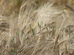Epis (bpmm) Tags: lambersart nord champ crales folleavoine