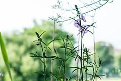 Prriemalve (Anita Pravits) Tags: mallow malve prriemalve sidalceamalviflorapurpetta