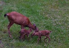 Happy Canada Day (shireye) Tags: nikon bc britishcolumbia deer vancouverisland fullframe fawns fx ff myyard comoxvalley d610 happycanadaday 24120