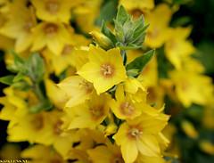 Lysimachia punctata - Puntwederik (Emil de Jong - Kijklens) Tags: zon sun sunny flower flowers geel jaune yellow fleur fleurs bloemen bloem gelb blum blumen