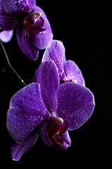 Diving in the dark (Porfidax) Tags: light shadow red white black orchid flower color 35mm dark magenta phalaenopsis nikkor violett nion d5000 nikonclubit