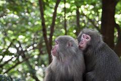 Yakuzaru, macachi di Yakushima (Umberto Marcacci) Tags: animal monkey eyes occhi sguardo macaco animale macaque macachi scimmia scimmie yakuzaru