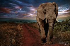 the big procrastinator (Kris Kros) Tags: ocean life africa wild sky elephant nature animal clouds hoop dark de book big intense colorful south release touch july reserve announcement kris procrastination rafael elefant hdr collaboration johannesburg kk kkg 2012 tusk procrastinator unleashed procrastinate longwayhome kros kriskros amomentlikethis maesk saariysqualitypictures kkgallery thebigprocrastinator