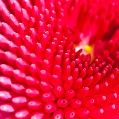 Yellow spot (Steve-h) Tags: park pink ireland red dublin plant flower macro nature beautiful beauty yellow canon lens gardeners pretty control blossom small release royal 100mm shutter wireless remote recreation society horticultural encyclopedia kenko extensiontubes kenkoextensiontubes dartry steveh palmerstonpark velbontripod buttonshaped canoneos5dmkii canoneos5dmk2 bellisperennispomponette canonef100mmf28lmacroisusm deletedfromredgroup royalhorticulturalsocietygardenersencyclopediaofplantsandflowers