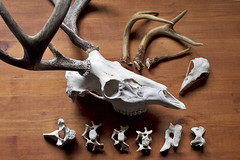 bones and antlers (fog and swell) Tags: shells rocks bones collecting