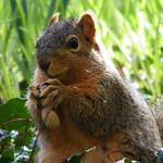 303/365/1398 (April 9, 2012) – Squirrels at the University of Michigan During Spring (April 9, 2012) thumbnail