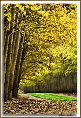 Golden arches (walla2chick) Tags: road autumn trees portrait usa fall oregon grove or poplars umatilla topazadjust 7146ta