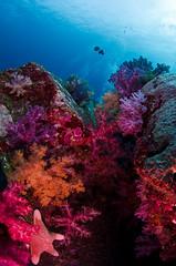 scoral9357 (gerb) Tags: topv111 coral 1025fav 510fav wow nice topv555 topv333 underwater starfish scuba fv5 pi reef tvp softcoral similanislands aquatica d7000 sigma1017fe taxonomy:genus=dendronephthya