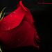 The Phantom's Rose Explored