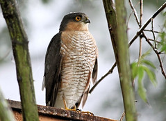 Sparrowhawk In The Rain 3 (Judy's Wildlife Garden) Tags: judykennett knightonpowys sparrowhawkintherain3
