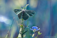 """The tale about moth and flower"" Chlorissa viridata (Serkiz Oleg) Tags: blue flower macro reflection art nature fairytale nikon small moth naturallight ukraine dslr macrophotography emeraldgreen primelens chernivtsi d80 sigma150mmf28apomacro chlorissaviridata serkizoleg"
